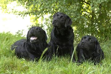 chiens, labrador