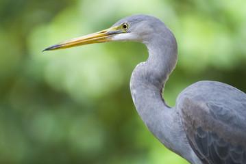 Close-up grey Heron