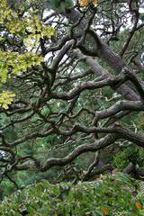 Intricate Branches of a Twisted Pine Tree