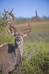 A kudu looks interested in the camera