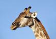 Giraffe, Etosha Pan, Namibia