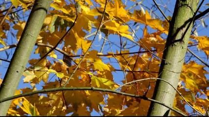 Yellow Maple Leaves On Tree Gegen Blue Sky