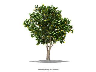buaum orangenbaum