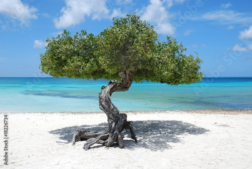 Aruba tree
