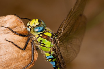 Southern Hawker dragonfly