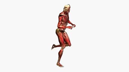 Anatomie - Muskeln - laufen