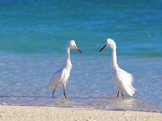 Herons Courting
