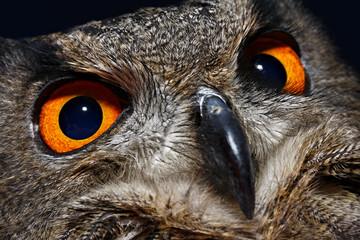 Gufo Reale (Bubo Bubo, Eurasian Eagle Owl)