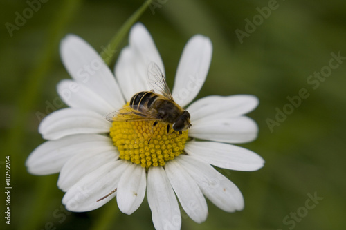 Bee sat on large Daisy