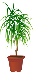 "Home plant ""Dracaena marginata""(vector illustration)"