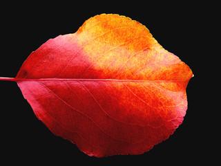 two-tone autumn leaf