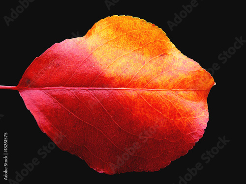 two-tone autumn leaf
