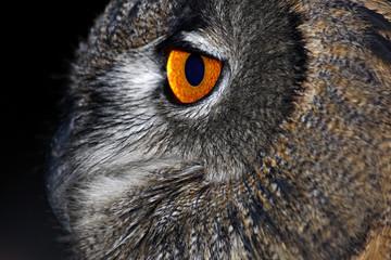 Gufo Reale (Bubo Bubo, Eurasian Eagle Owl 2)