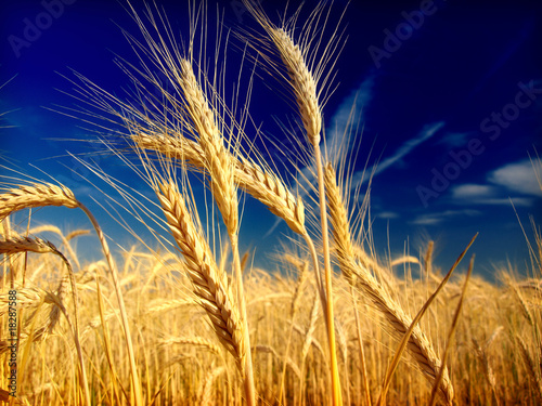 Obraz na płótnie wheat and blue sky