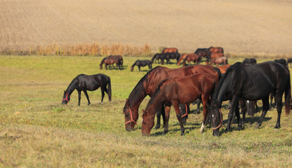 Herd of horses grazing