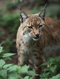 Close-up portrait of an Eurasian Lynx (Lynx lynx). poster