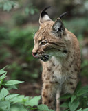 Portrait  of an Eurasian Lynx (Lynx lynx.) poster