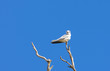 Black-shouldered Kite - Native Australian Bird