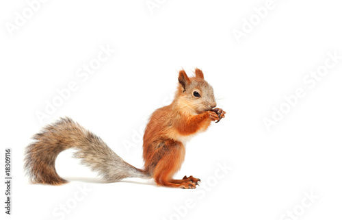 Papiers peints Squirrel red squirrel