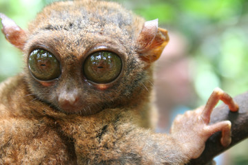 Big eye Tarsier