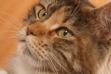 Portrait de chat maine coon en très gros plan
