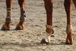 Membres de cheval. - 18325313