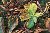 Damage caused by Horse-Chestnut Leaf Miner 08 poster