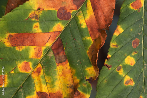 Damage caused by Horse-Chestnut Leaf Miner 09