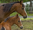 Mother mare protecting her baby colt foal