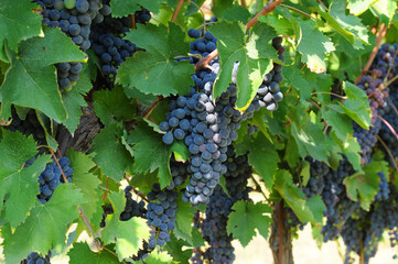 Grapevines with bunches of ripe grapes, Chianti