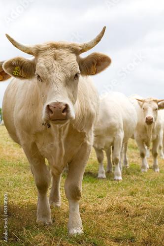 Papiers peints Vache Blondes d'Aquitaine cows