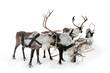 Four reindeers