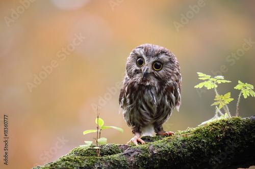 In de dag Uil Tiny Owl