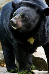 Orso nero black americn bear