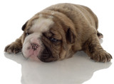 brindle english bulldog puppy with reflection - 3 weeks old .. poster