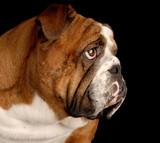 brindle english bulldog portrait on black background poster