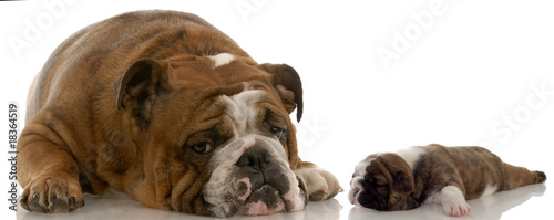 mother and puppy - english bulldog mom and three week old puppy