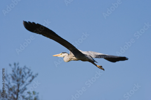 Grey heron in flight with blue sky background