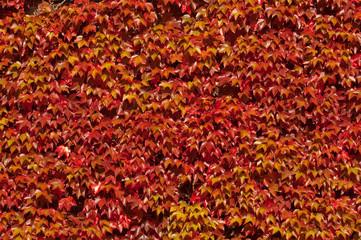 background of red ivy vegetation