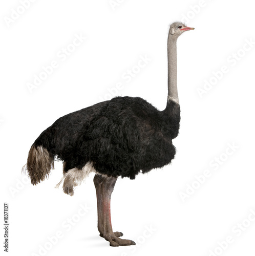 Fotobehang Struisvogel Male ostrich standing in front of a white background