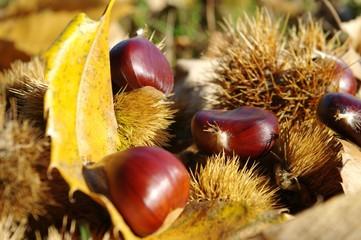 automne - saison des châtaignes