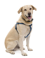 Cream Labrador, sitting in front of a white background