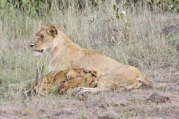 Lioness nursing her cubs