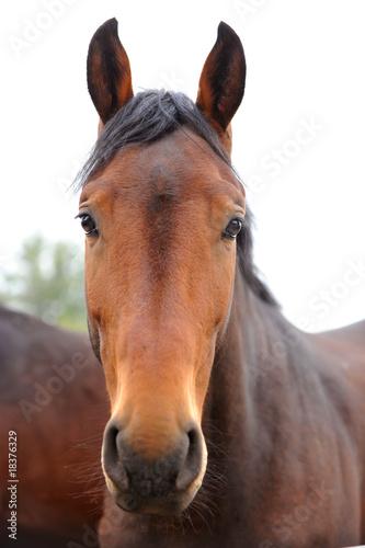 Fototapeten,pferd,stute,elegant,rosopsida