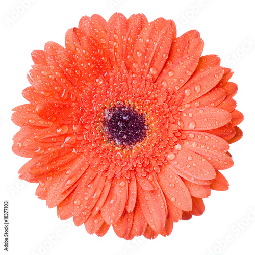 Macro of red daisy-gerbera head with water drops