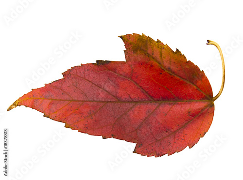Three-lobed red maple leaf on white