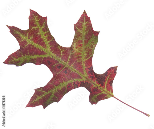 Autumn Oak leaf isolated on white