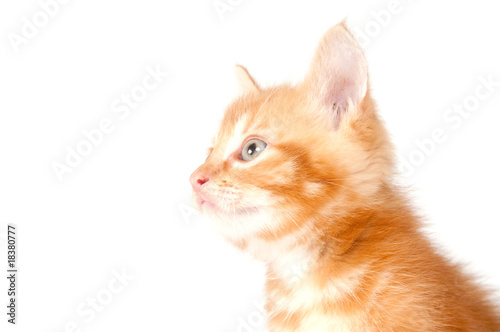 Profile of yellow kitten