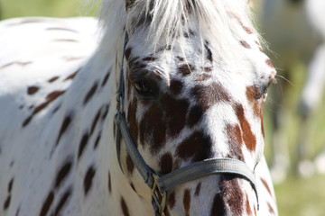 Tigered horse brown and white