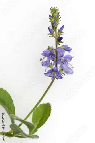 Ehrenpreis; Veronica; Officinalis